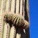 @ Saguaro Natl Park