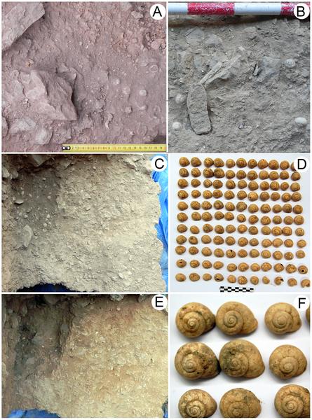 Figura 5 acumulaciones culturales de caracoles terrestres I. alonensis.