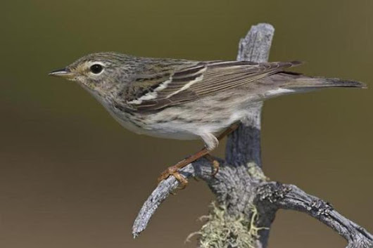 Tiny blackpoll warbler makes mind-boggling, nonstop migration - Metro - The Boston Globe