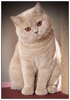 How Much Does A British Shorthair Cat Cost - British Shorthair
