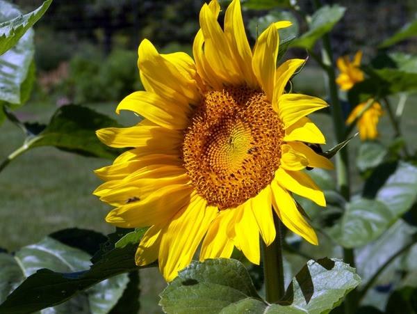Sunflower Free stock photos in JPEG (.jpg) 2832x2128 ...