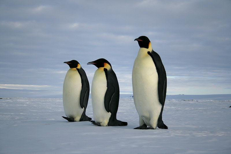 File:Emperor penguins (1).jpg