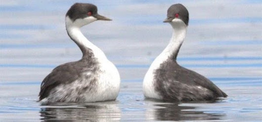 Save the Junin Grebe for the Price of Your Morning Coffee