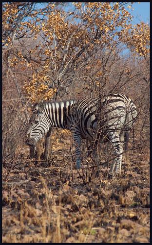zebra by hans van egdom