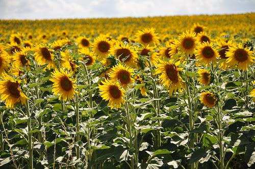 Sun flowers by Swedish Saguaro