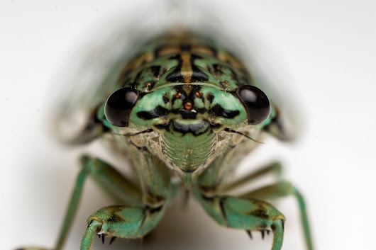 Cicada Calls Are Literally Deafening