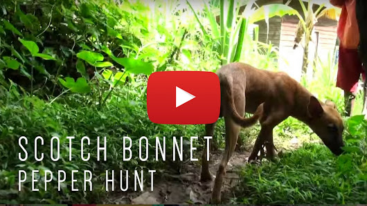 VIDEO: Scotch Bonnet Pepper Hunt - Jamaican Videos