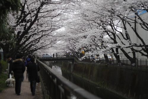 A path through the cherry blossoms