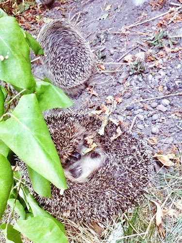 hedgehog 2013