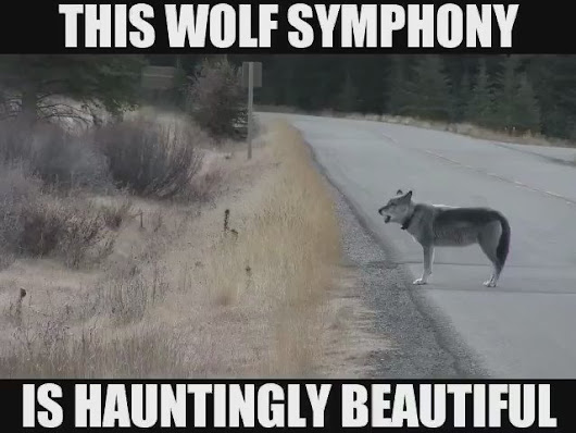 "Heidi no Twitter: ""For your listening pleasure..a WOLF SYMPHONY.. 🎶🎶🎵❤  Video by Jim Laybourn """