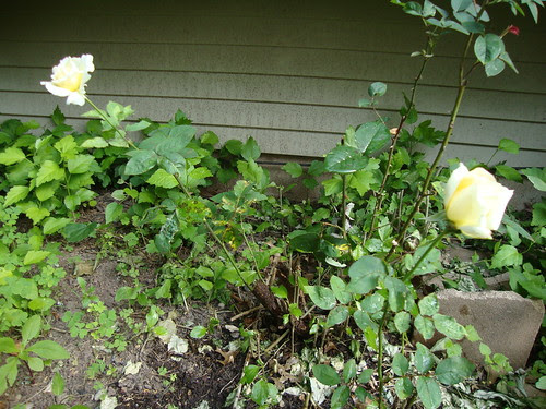 my white rose bush  6/5/11