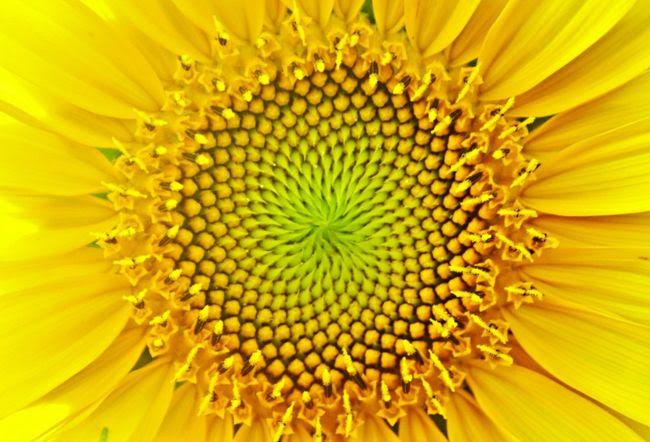Sunflower1 holographic pure line ailia mira expect wonderful
