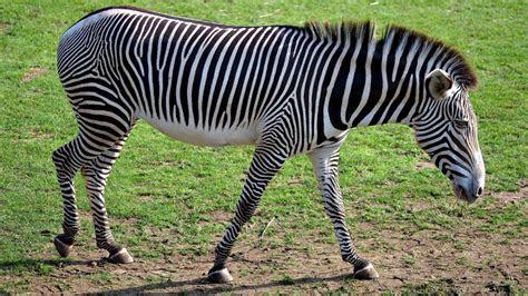 lonely zebra hd wallpaper wallpaperscom