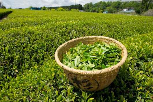 What's in Your Green Tea? - NYTimes.com