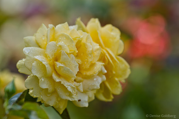 roses, petals in soft yellow touched with raindrops