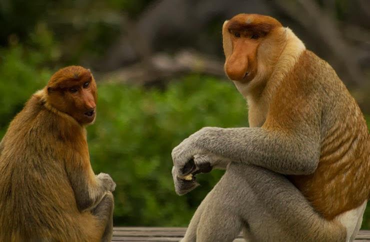 ialah endemik belantara pulau Kalimantan Bekantan – Monyet Asli Kalimantan