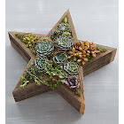 Wood Star Succulent Wood Star Succulent - Plants by 1-800 Flowers
