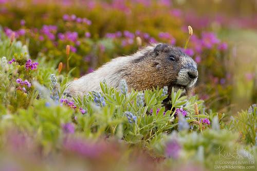 Hoary Marmot Feeding on Lupine, Mount Rainier National Park, Washington