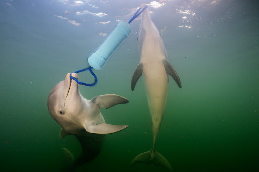 Dolphins have a language that helps them solve problems together