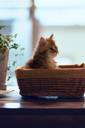 Kitten basket mood Mobile Wallpaper