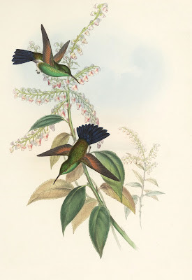 Amazilia cyanura - coloured bird illustration