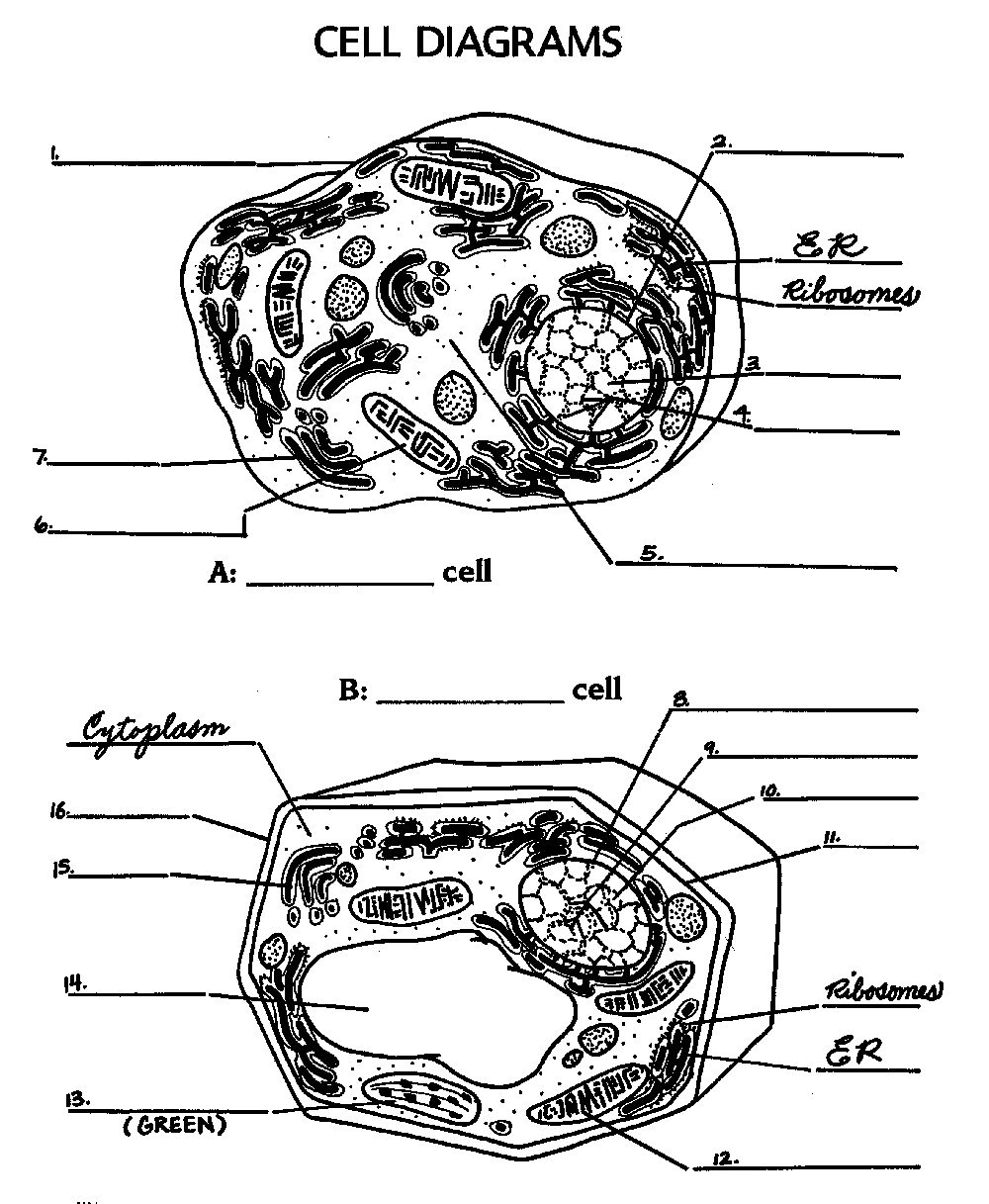12 Best Images of Animal Cell Worksheet Answers - Labeled ...