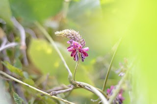 kudzu flowers