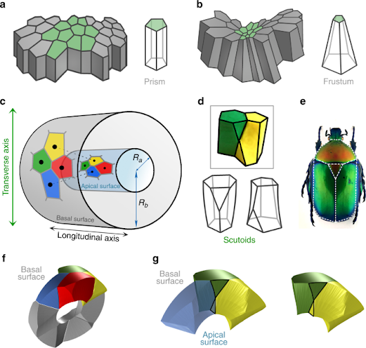 Scutoids are a geometrical solution to three-dimensional packing of epithelia | Nature Communications