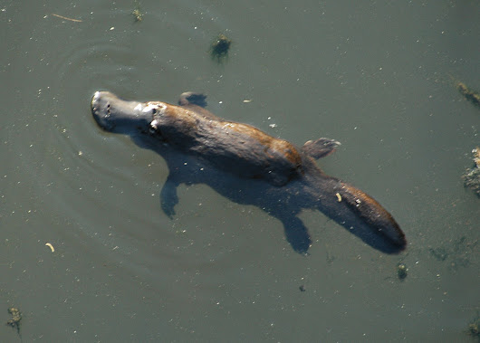 It's a bird! It's a beaver! No, it's the duck billed platypus!
