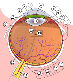 Schematic diagram of the human eye multilingual.svg