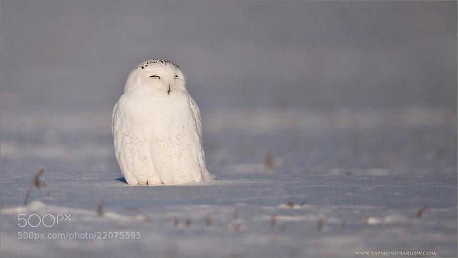 Snowy Owl by Raymond Barlow (raymondbarlow)) on 500px.com