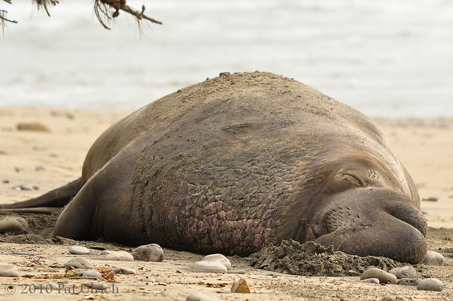 That time of year again. Northern elephant seals -- Pat Ulrich Wildlife and Nature Photography