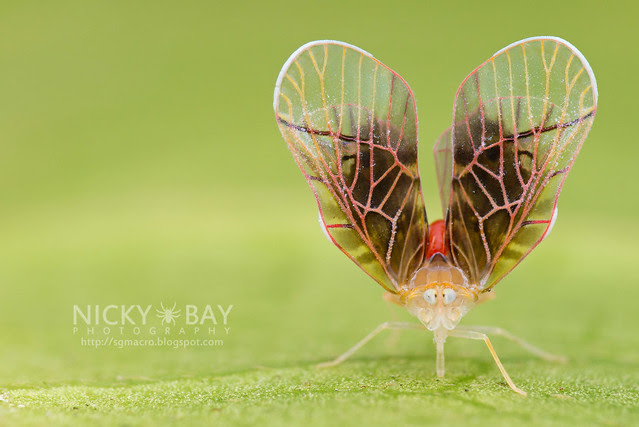 Derbid Planthopper (Derbidae) - DSC_3252