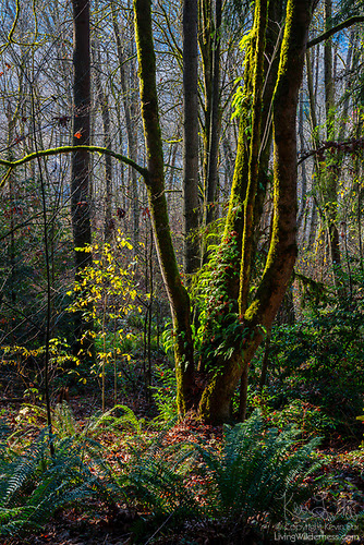 Twisted Trunks, Shelton View Forest, Bothell, Washington