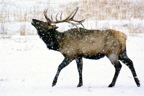 Bugling Elk in a snow storm!