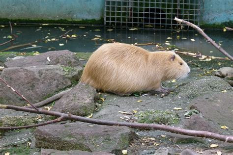 File:Myocastor coypus   Nutria   coypu   Biberratte 01   Wikimedia Commons