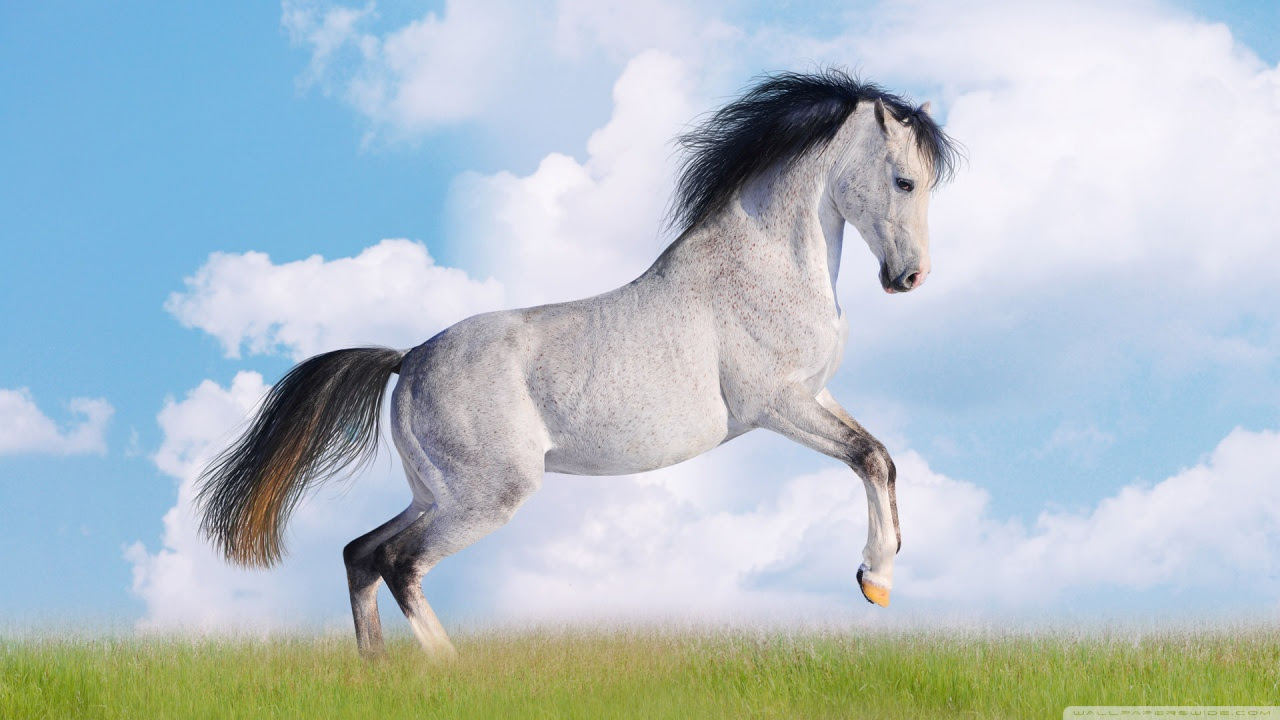 Beautiful White Horse Top Desktop Image Hd Wallpapers Of
