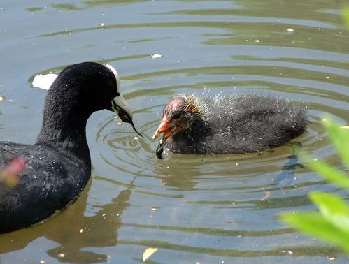 21931 - Baby Coot at WWT