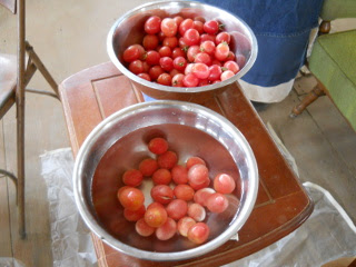 Spring Garden 2012 Tomatoes Ready to Process into Tomato Sauce