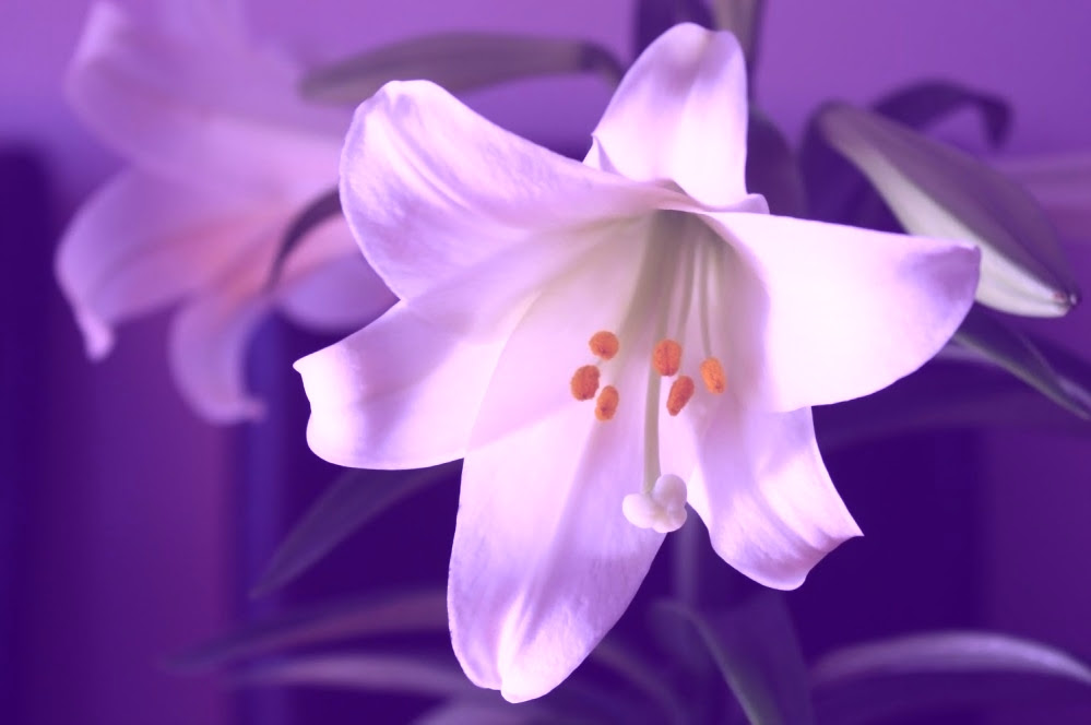 Do You Know Lily Flower Meaning & Symbolism??   Giftalove ...