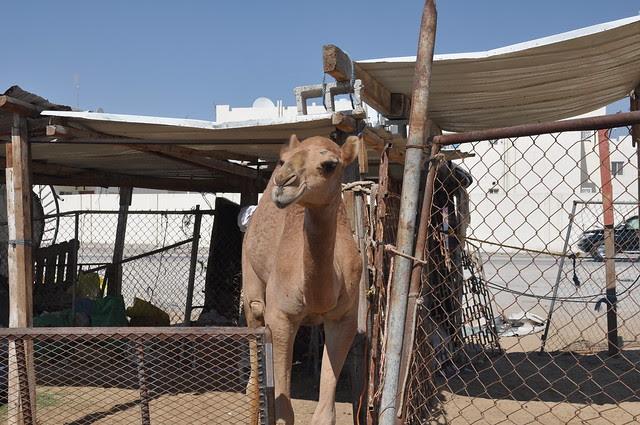Camel souk-Doha-fev (15)