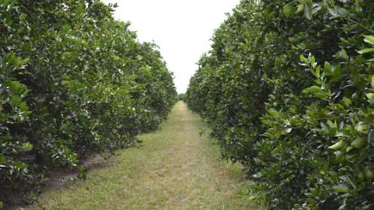8 Trends Shaping The Future Of Florida Citrus | Growing Produce