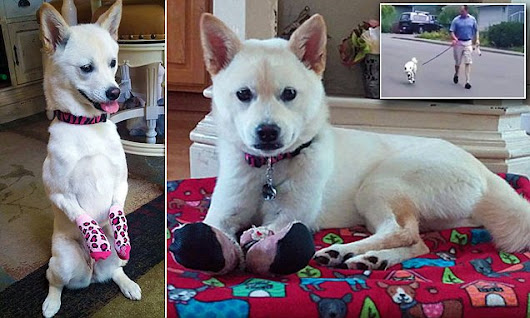 Journey the puppy is able to run through the help of prosthetic paws