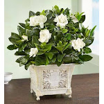 Flower Delivery by 1-800 Flowers Grand Gardenia Large Plant