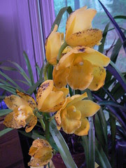 Yellow cymbidium with some ugly brown spots