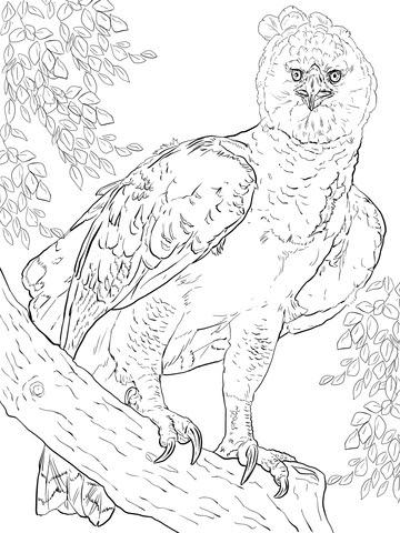 Dibujo De águila Harpía Americana Para Colorear Dibujos Para