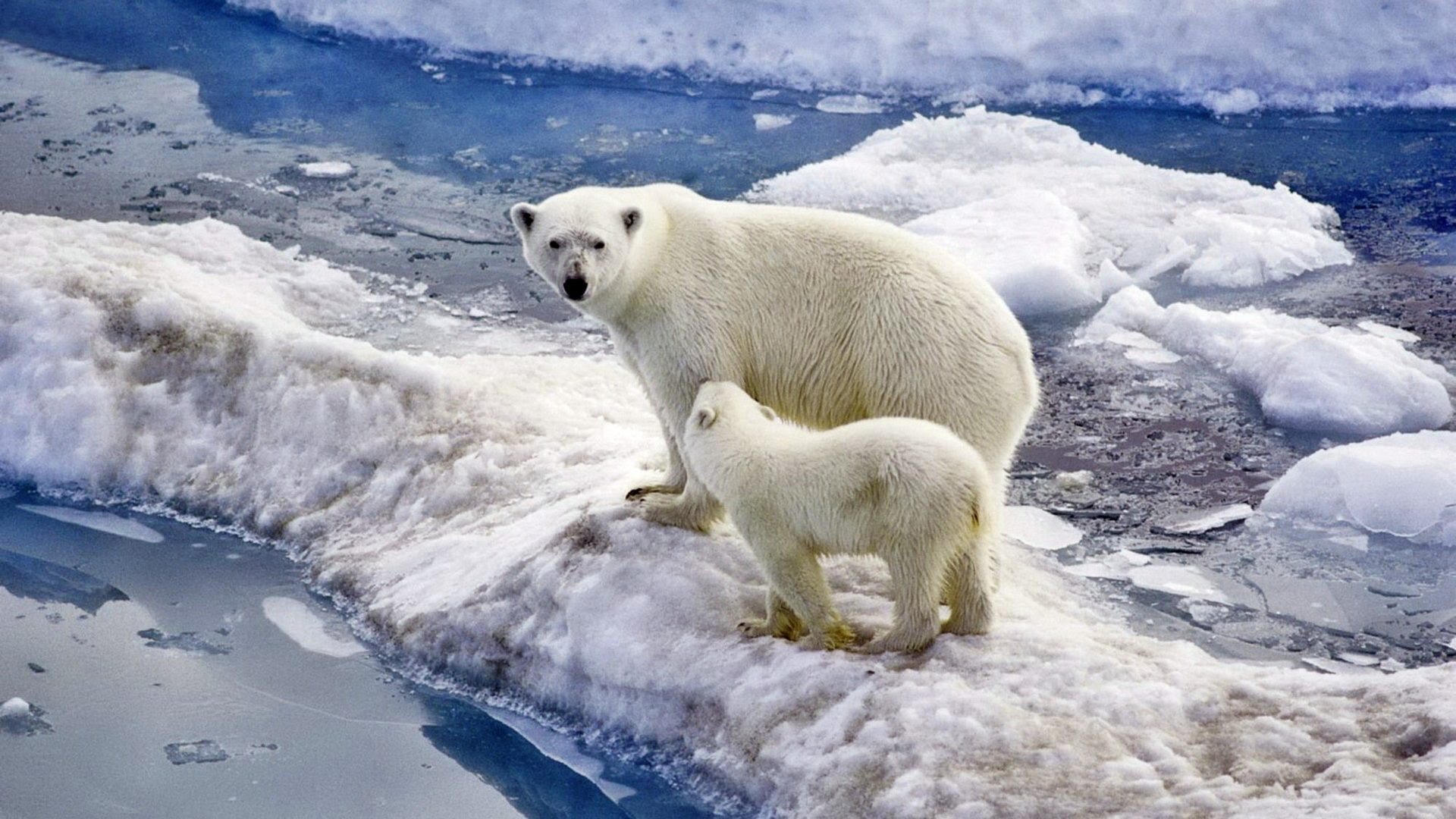 Polar Bear Family Baby Snow Ice Ocean Wallpaper Widescreen Hd : Wallpapers13.com