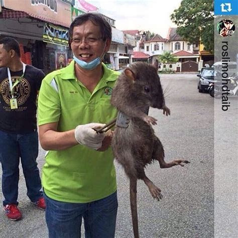 This Photo Of A Fake Huge Rat Went Viral, Surprisingly Giant Rats Do Exist And It Can Reach Up