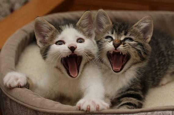 zevalice04 Gambar Anak Kucing Menguap dengan Sangat Comel