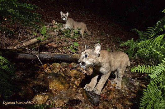 Photos show mountain lion kittens growing up in wine country